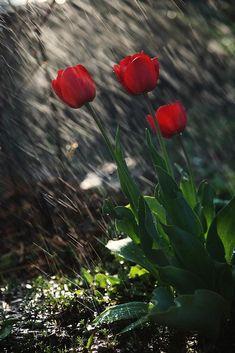 Tulips in the Rain.