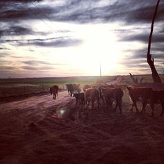 Sunset and Cattle