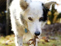 Smart dog: Border collie learns language, grammar, 1000 words