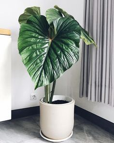 Philodendron Plowmanii # indoor plants - All For Garden Colorful Plants, Green Plants, Tropical Garden, Tropical Plants, Planting Succulents, Planting Flowers, Plant Aesthetic, Aesthetic Green, Decoration Plante