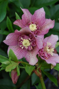 Hellebores, or the Lenten Rose, is a popular evergreen perennial that prefers a part-shade to shady spot in the garden. It has shiny, deep green foliage and striking flowers which usually appear in mid to late winter and can last into the spring. They will survive inside in a bright, cool spot until they can be planted outdoors in the early spring. Lenten Rose ( Helleborus x hybridus 'Tutu').