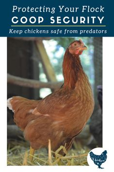 The scariest thing about raising chickens is the threat of predators. Find out how to make an ultra safe chicken coop to keep your babies safe! The Safe Chicken Coop: Protect your Flock from Predators Backyard Chicken Project Raising Backyard Chickens, Backyard Poultry, Backyard Chicken Coops, Keeping Chickens, Meat Chickens, Chicken Garden, How To Raise Chickens, Urban Chicken Coop, Best Chicken Coop