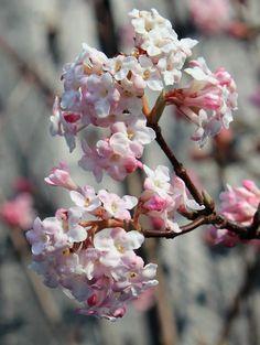 Kejserbusk blomstrer i april og dufter dejligt
