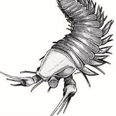 Resultado de imagen para kooteninchela deppi