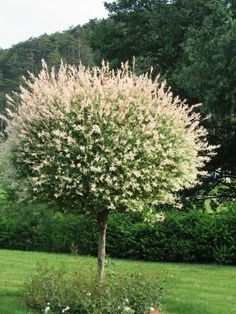 Japansk Dvärgpil - Salix - Integra Hakuro Nishiki