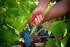 El Bierzo cierra la vendimia con 13,5 millones de kilogramos de uva de magnífica calidad   SoyRural.es