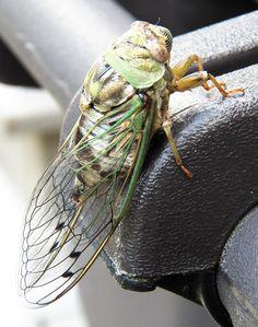I like cicadas. :)