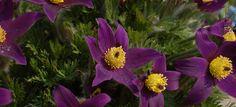 Sasanka - pasque-flower