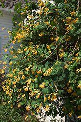 "Honeybelle Trumpet Honeysuckle  Lonicera x brownii ""Honeybelle"""