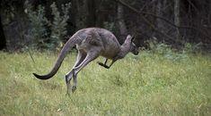 Australie : un enfant perdu survit grâce à un kangourou | Atlantico
