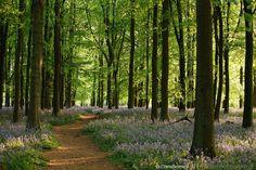 beech tree forest 2