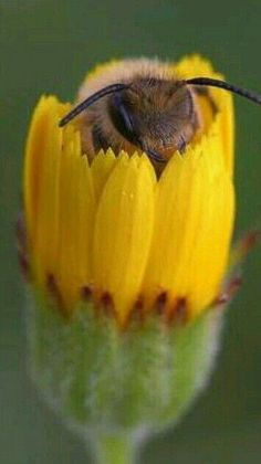 bee in a flower.bee in a flower. Beautiful Creatures, Animals Beautiful, Cute Animals, Regard Animal, Les Reptiles, Buzzy Bee, I Love Bees, Bees And Wasps, Bee Friendly