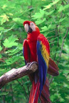 Guacamayo(Araspp.). Es un ave de la familia de los loros(Psittacidae), del orden de los Psittaciformes. Se alimentan de insectos y bayas y viven en los árboles, desde las selvas deMéxicohasta aproximadamente el noreste deArgentina.
