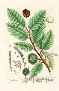 Elizabeth Blackwell Curious Herbal Prints 1757 - Chestnut