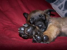 Belgian Malinois Puppy. Look at those paws!