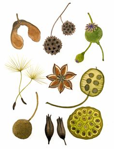 Illustration friday: multiple in 2019 seed pods drawings, se Illustration Botanique, Illustration Art, Illustrations, Garden Journal, Nature Journal, Botanical Drawings, Botanical Prints, Image Nature, Seed Pods