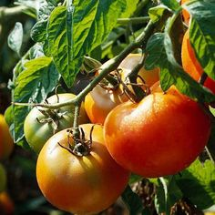 Vegetable Gardening: 10 Must-Grow Plants