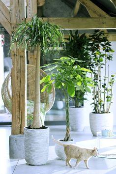Zimmerbäume als grüner Garten für Wohnungstiger – Pflanzenfreude.de #pflanzenfreude #zimmerbäume #zimmerpflanzedesmonats