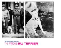 """General George Patton's Bull Terrier Willie: When General Patton bought Willie, he wrote in his diary, """"My bull pup . . . took to me like a duck to water. He is 15 months old, pure white except for a little lemin [sic] on his tail which to a cursory glance would seem to indicate that he had not used toilet paper. . ."""""""