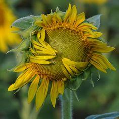 Shy sunflower hiding its center... by toryporter (back... FAR, FAR behind!), via Flickr