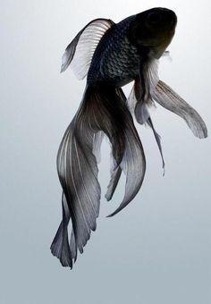 goldfish fantail goldfish ryukin gel fish food homemade fish food food - photosheaf.com