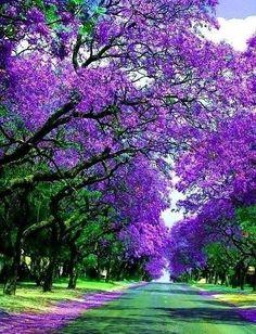 Jacracanda Street, Sydney, Australia. this would just be fun to run through!