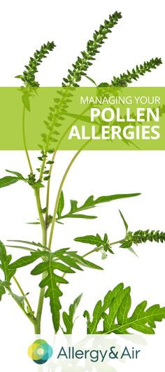 Understanding and Managing Your Pollen Allergies: Whether you are in the heart of allergy season or a less serious time of the year, there are plenty of steps you can take to build a strong defense again pollen. Allergies Au Pollen, Sinus Allergies, Homeopathic Remedies, Health Remedies, Natural Medicine, Herbal Medicine, Natural Cures, Natural Healing, Health And Nutrition