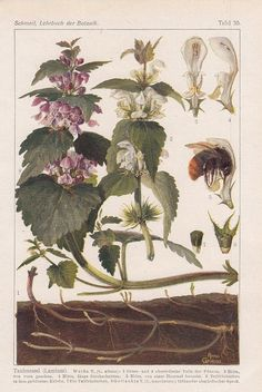 1921 Botanik 3 Drucke* Taubnessel Scharbockskraut Sonnentau * Botanical Prints
