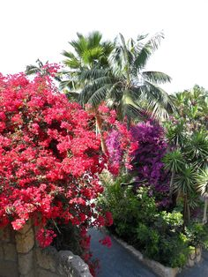 Red and Purple flowers plus Palm trees, Tenerife, Canary Islands