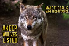 #LiveAndLetHowl! Call @amyklobuchar (202-224-3244) and @alfranken  (202-224-5641) to #KeepWolvesListed.