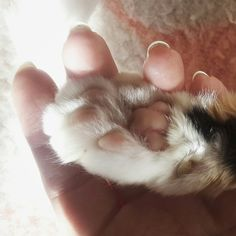 My pink fingers vs my cat's pink toes. It's curious that we are so similar, yet we're completely different.   .  #goodmorning #paw #ilovemycat #cats #calico #pinktoesies #kittycat #mycatmyfriend #phoebecat #phoebethecat #seniorcat #jellybeantoes #catvshuman #differentspecies #chosenfamily #catsaremagic #happyfriday #LisaNightshadeArt