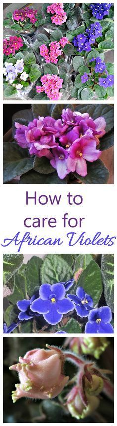 African violets are one of the few indoor houseplants that will flower year round. They can be a bit finicky to grow but these growing tips will help you.