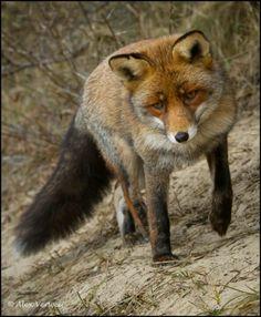 Red Fox by Alex Verweij. Beautiful Creatures, Animals Beautiful, Cute Animals, Pretty Animals, Otter, Fox Totem, Fantastic Fox, Fox Spirit, Fox Face