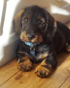 "461 Likes, 16 Comments - Seamus (@seamusweenie) on Instagram: "" Wirehaired dachshund puppy"