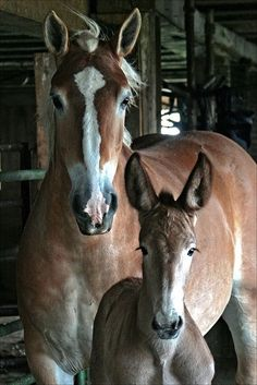 This is a cold-blood mare (draft horse) with a pretty mule foal. Mules out of draft type mares will be big, strong and stout.