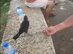 A crow asks for water and is the cutest, sweetest bird ever.