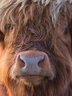 Highland Cow, Scotland   (Source: flickr.com)