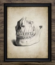 Human Teeth Print  Human Dental Anatomy  by InstantGraphics
