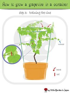 How to grow a grape vine in a container. Need to explore this blog in more detail....