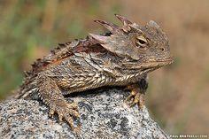 Horned-Lizard-10   Flickr - Photo Sharing!