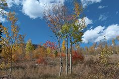 'Rainbow Colors of Autumn', a fine art landscape photograph by Lynn Cyrus / Cascade Colors. I was drawn to this image by the sheer abundance of color - red, orange, yellow, green, and blue! The last of the aspen trees are still displaying vivid autumn foliage by late September, and the warm colors of the meadow contrast nicely with the bright blue sky overhead. This was taken within the White River National Forest, on the edge of Silverthorne, Colorado.
