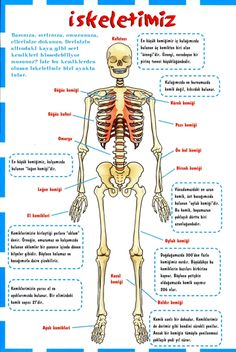 Okulumuza iskeletimiz panosu hazırlıyoruz.