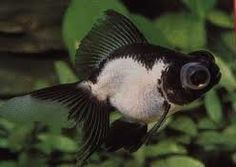 Panda Moor Goldfish, looks just like my little guy!