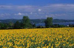 Canandaigua Lake Sunflowers