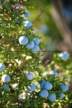 host Mountain Juniper Berries Photo Print