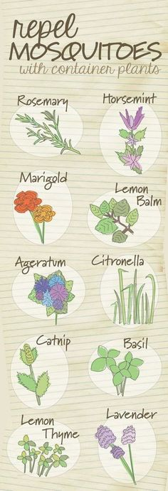 Diagrams That Make Gardening So Much Easier The top 10 container plants that repel mosquitoes naturally.The top 10 container plants that repel mosquitoes naturally. Garden Inspiration, Plants, Planting Flowers, Herbs, Container Plants, Lawn And Garden, Green Thumb, Outdoor Gardens, Garden Landscaping
