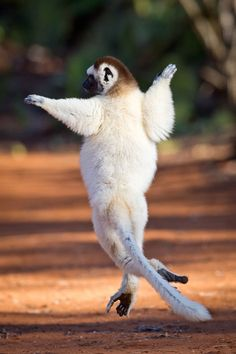 Dancing Sifaka lemurs caught on camera by British wildlife photographers in Madagascar - Telegraph
