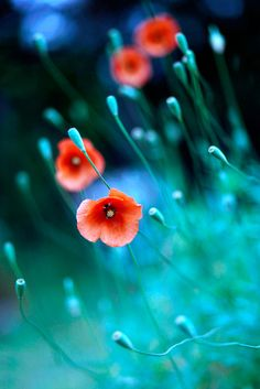 ♂ beautiful nature bokeh photography red flowers