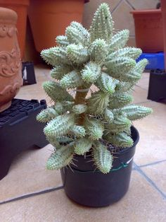 Euphorbia Mammillari variegata : Cactus y Suculentas de Amanecer