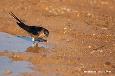 Dónde ver aves en el Algarve, Portugal - via Naturaleza y Viajes 16-01-2017 | El birdwatching, del que os hablé en este artículo que publicamos hace un par de meses, se basa en la observación y el estudio de las aves silvestres. Casi 300 especies de este grupo de vertebrados (entre rapaces, marinas, limícolas, anátidas, paseriformes y otras) se dan cita en este territorio repartidas a lo largo de todo el año. Foto: Golondrina dáurica Portugal, Algarve, Bird Watching, Animals, Wild Birds, Swallows, Vertebrates, Quote, Group